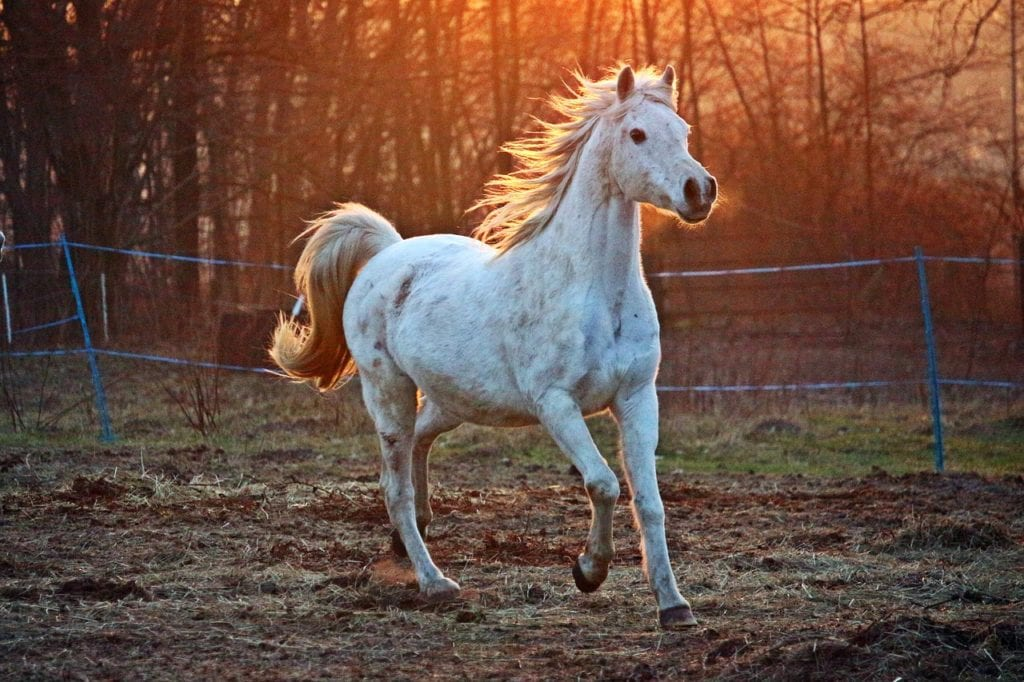 Why You Must Own An Arabian Horse